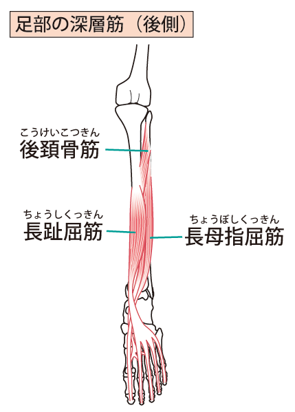 足の深層筋のイラスト